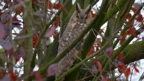 Long-eared owl (Asio otus) sitting high up in a tree with red colored leafs duri Footage
