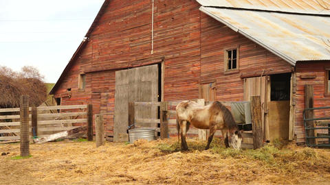 Old Farm Livestock Grazes in Front of Horse Barn Footage