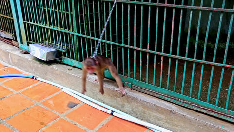 Small Monkey with Chain on Neck Walks To-and-fro at Zoo Cage Footage