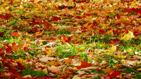 4K Orange, Red and Yellow Leaves of Maple and Oak Sway With Wind on Green Footage