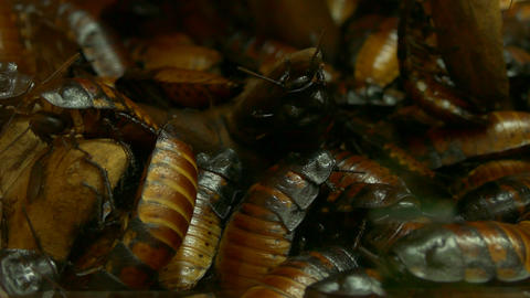 4K Ungraded: Swarming of Madagascar Hissing Cockroaches Footage