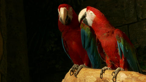 4K Ungraded: Green-Winged Macaw Sit on Perch, Other Macaw Approaches It, Then Footage
