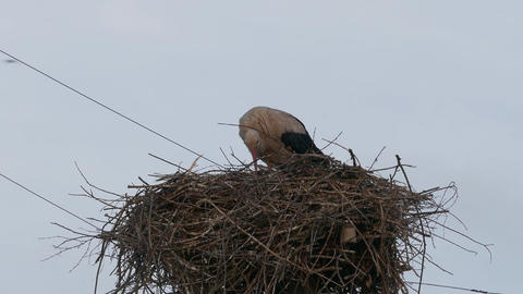4K Ungraded: White Stork in Nest on Power Line Column Stands and Then Footage