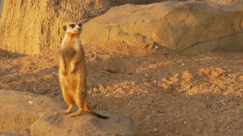 4K Ungraded: Meerkat With Nose Stained in Sand Stands on Its Hind Legs Under Footage