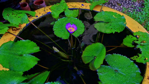 Big Vase As Pond with Water Flowers in Tropical Park Footage