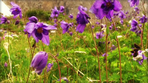 Aquilegia Flowers In Mountain Valley Footage