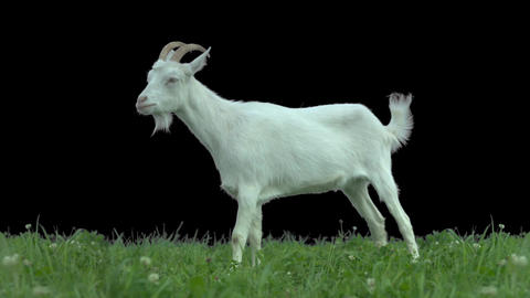 Goat on green meadow Footage
