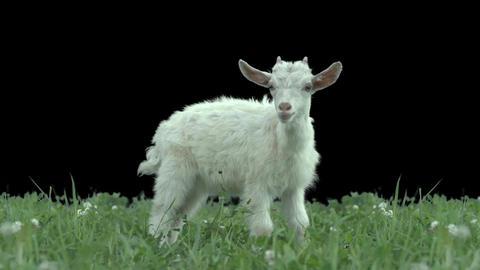 Goatling on green meadow Footage