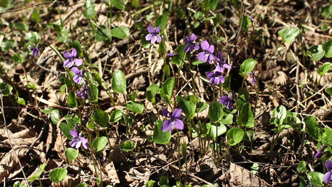 violets among last year's leaves Footage