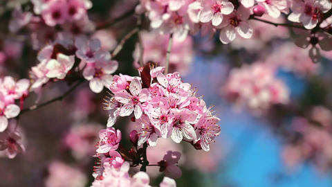 Spring Cherry blossoms, pink flowers Filmmaterial