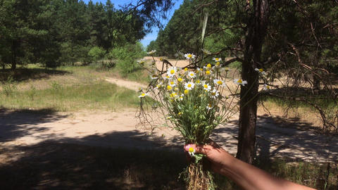 A human hand appears with a bouquet of field chamomiles Footage