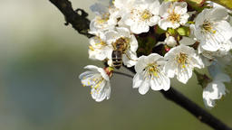 Honey bee on apple tree Footage