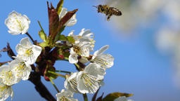 Honey bee flying on apple tree Footage