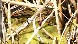 Pink Dragonfly on a reed Footage