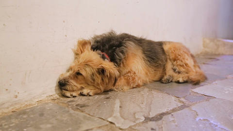 Unhappy dog sleeping in city street alone, devoted animal waiting for master Footage
