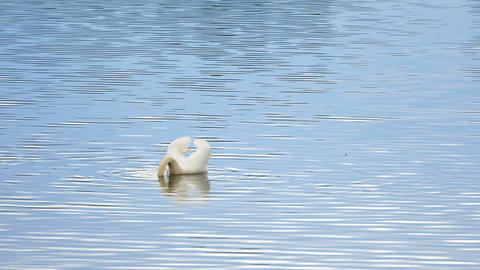 Majestic adult swan swim on smooth water level with sun reflections and sparkles Footage