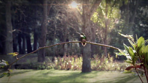 Colibri Perches On A Branch Of The Forest Footage