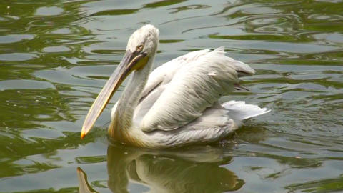 bird pelican floating on the lake Footage