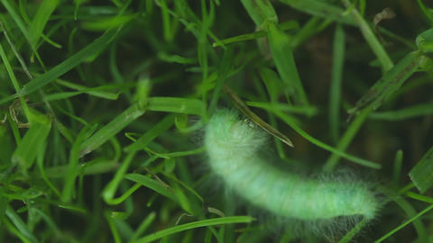 Hairy caterpillars Footage