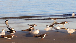 Seabirds on the shore of a sandy beach Footage