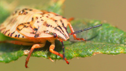 Field bug beetle turns dry stalk insects macro Slow Motion Footage