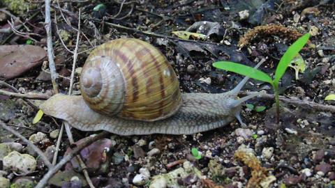 roman snail (Helix pomatia) Footage