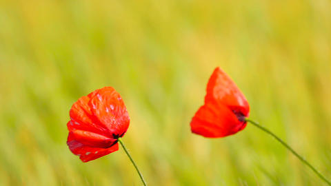 Couple of red poppy flowers are fluttering with fresh green barley field on a ba Footage