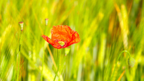 Side detail view of the red poppy flower with fresh green wheat field on a backg Footage