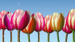 Line of tulips moved from side to side with soft cloudlets