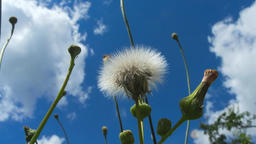 Zooming on past blossoming dandelion with flying feathers Animation