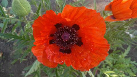 Poppy flower v2 GIF