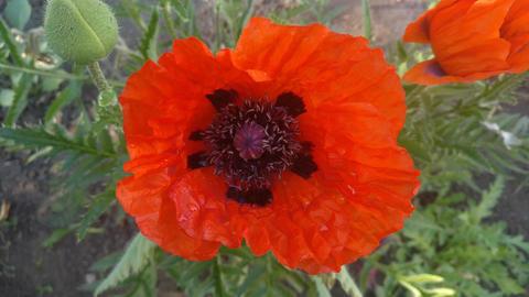Poppy flower Footage