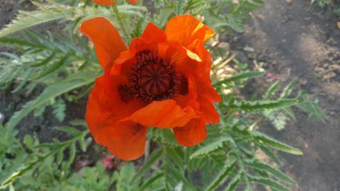 Bee on Poppy flower v2 GIF
