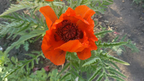 Bee on Poppy flower Footage