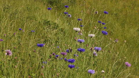 Cornflowers In Grass Live Action