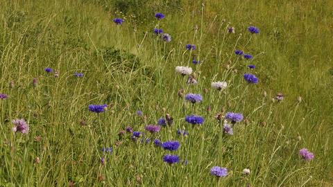 Cornflowers In Grass Footage