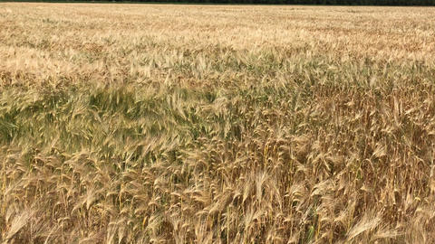 Ripe ears of wheat on a summer day, zoom Footage