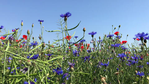 Cornflowers and red poppies against the blue sky Footage