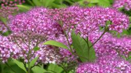 Japanese meadowsweet (filipendula purpurea) and bumblebee in the garden Footage