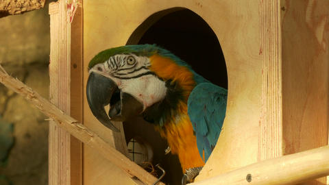 4K Ungraded: Blue-And-Yellow Macaw Parrot Looks Out of Birdhouse Window At Footage