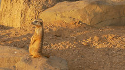 4K Ungraded: Meerkat With Nose Stained in Sand Stands on Its Hind Legs And Footage