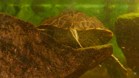 4K Ungraded: Red-Eared Slider Turtle (Trachemys Scripta Elegans) Swims in An Footage