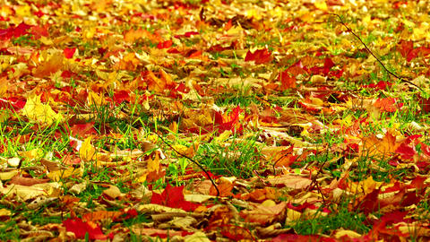 1080p Orange, Red and Yellow Leaves of Maple and Oak Sway With Wind on Green Footage