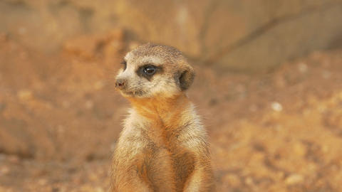 4K Ungraded: Meerkat With Nose Stained in Sand Sits Vertically Against Footage