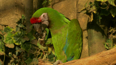 4K Ungraded: Military Macaw Cleans Beak With Paw Sitting on Perch In Footage