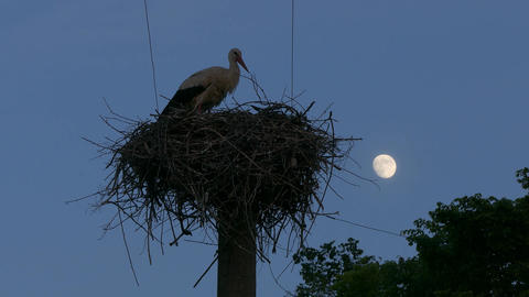 4K Ungraded: White Stork in Nest on Power Line Column Stands in Nest Footage