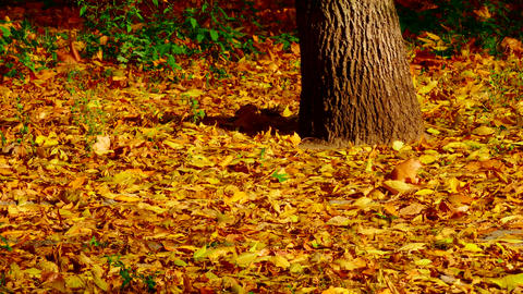 4K Yellow Leaves of Maple and Oak Sway With Wind Next to Trunk of Oak Footage