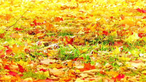 4K Bright Yellow Leaves of Maple and Oak Sway With Wind on Green Grass Footage