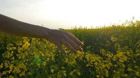 Hand of beautiful young woman gracefully caressing rapeseed walking on golden fi Footage