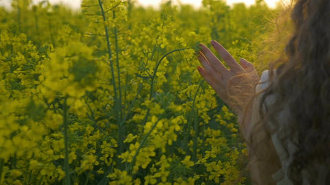 Closeup of woman hand caressing canola flower walking in the rapeseed field and  Footage